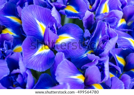 Blue flower irises- nature spring sunny background. Soft focus with bokeh