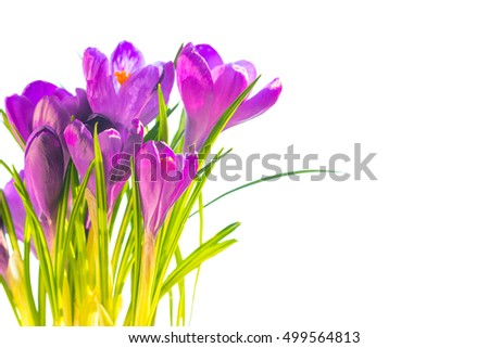 First spring flowers - bouquet of purple crocuses isolated on white background with copyspace #499564813
