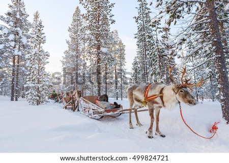 Reindeer safari in a winter forest in Finnish Lapland Royalty-Free Stock Photo #499824721
