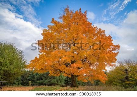 Fall Tree #500018935
