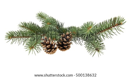 branch of fir-tree and cone on a white background closeup #500138632