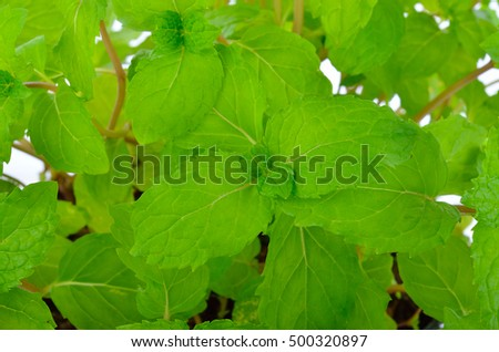 Green peppermint leaves #500320897