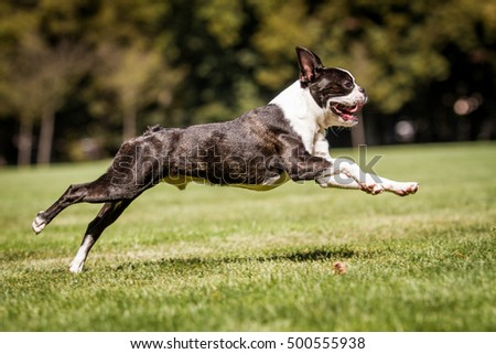Running boston terrier, running dog