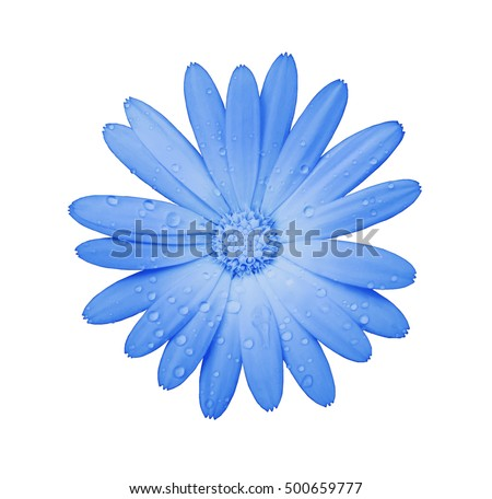 blue flower with clipping path isolated on white  background. garden flower calendula. Closeup.  water drops. Nature. #500659777