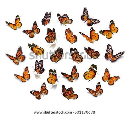 Big set Monarch Butterfly isolated on white background. #501170698