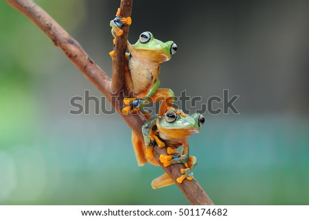 flying frog, tree frog, frog on snail, frog, frogs, frog in leaves, two frog #501174682