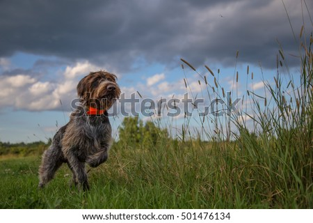 Hunting Dog pointing a pheasant Royalty-Free Stock Photo #501476134