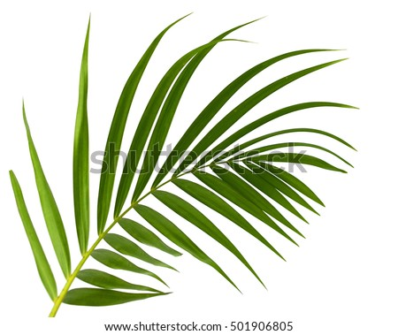 Green leaves of palm tree isolated on white background Royalty-Free Stock Photo #501906805