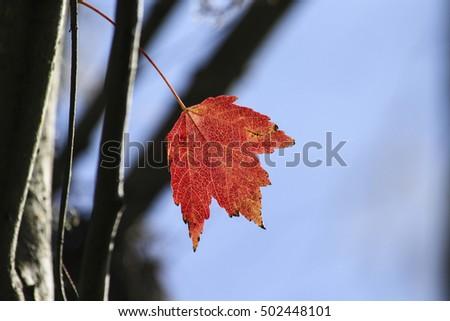 Image of a Single Maple Leaf #502448101