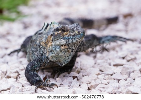 spiny tail iguana walking on the ground in the pacific Costa Rica #502470778