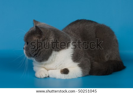 British cat animals feline domestic #50251045