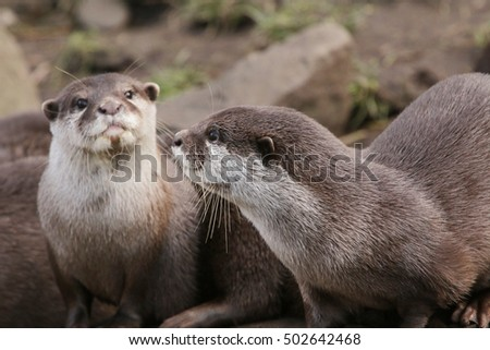 Oriental small-clawed otters on a horizontal close up picture. A cute predatory mammal occurring in Asia.