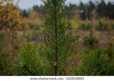Young Fir Tree in a  forest. Ukraine #502818883