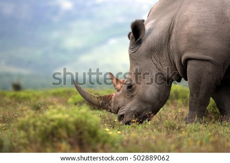A close up photo of an endangered white rhino / rhinoceros face,horn and eye. South Africa