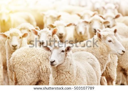 Livestock farm, flock of sheep Royalty-Free Stock Photo #503107789