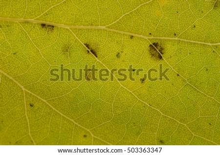 background texture of a fallen autumn leaf #503363347