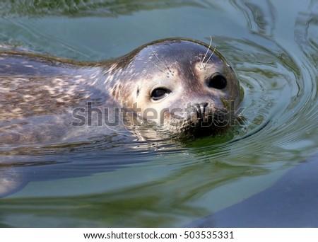Swimming Atlantic common seal (Phoca vitulina) in close-up, looking at the camera.