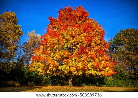 Flame tree #503589736