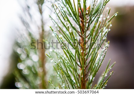 fir dew. Pine tree with morning dew on the twig, abstract natura #503697064