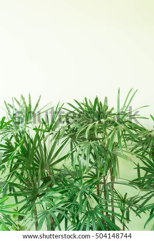 Fresh and green bamboo palm leaves  or rhapis leafs or lady palm leaves growing near white concrete wall. Plants for house decoration as background abstract, bamboo palm leaves on white background #504148744