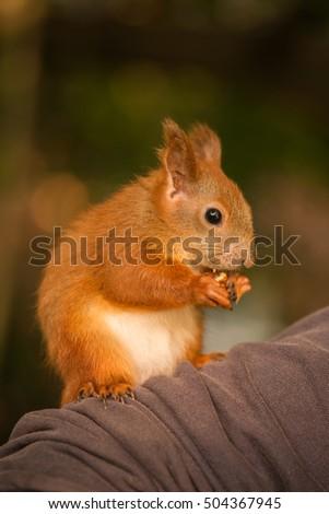 Red squirrel holding a hazelnut. #504367945