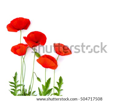 Red poppies (common poppy, corn poppy, corn rose, field poppy, Flanders poppy, red weed, coquelicot) on white background. Top view, flat lay  #504717508