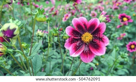 Pink Chrysanthemum in the garden on a green background. #504762091