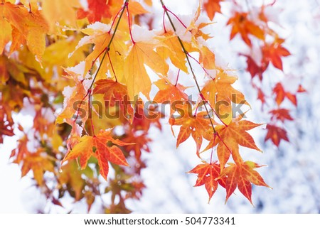 red and yellow fall maple tree covered in snow / hokkaido japan #504773341