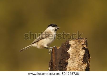 Beautiful tit bird on winter or autumn background #504946738