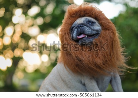 Funny face of pug dog with lion costume. #505061134