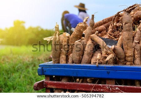 Harvest or dig Root Cassava of floor in Farm #505394782
