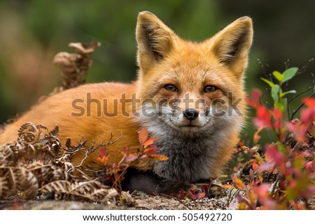 Red Fox - Vulpes vulpes, close-up portrait. Laying down in the colorful fall vegetation. Making eye contact.
