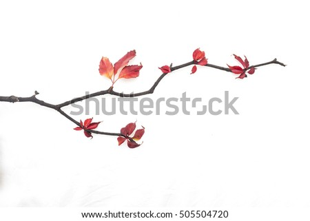 Branch with autumn red leaves isolated on a white background #505504720
