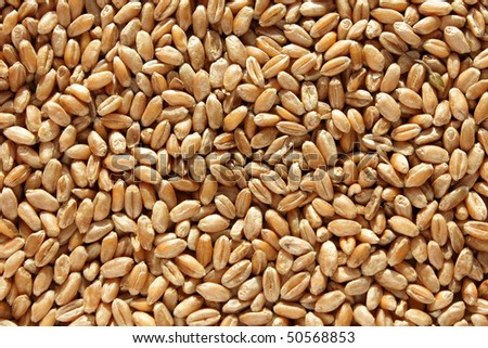 Closeup wheat grains. In a bright sunlight. #50568853
