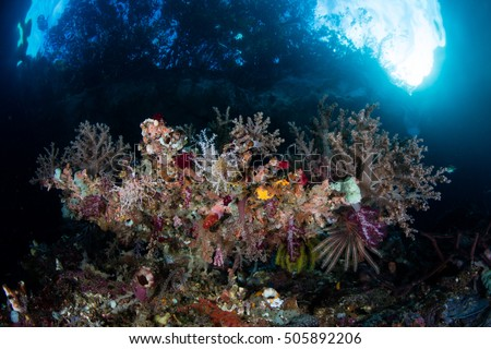 Colorful invertebrates cover a reef drop off in Raja Ampat, Indonesia. This remote region is known for its extraordinary marine biodiversity and is a popular destination for divers and snorkelers. #505892206