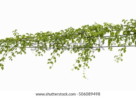 Ivy green with leaf on isolate white background #506089498