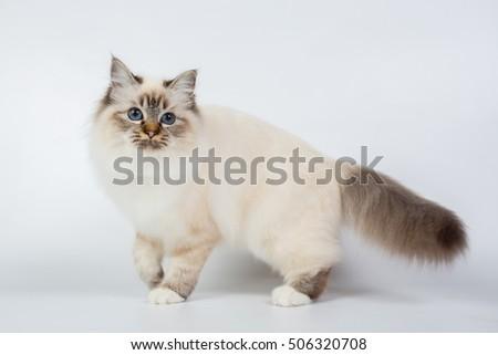 Sacred Birman Cat, birma isolated on a white background, studio photo