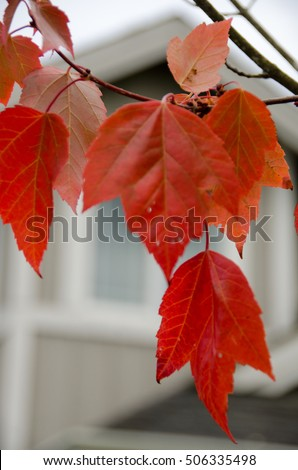 Red maple foliage next to a beige house in Seattle neighborhood background #506335498