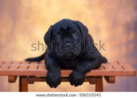 cane corso puppy #506510545