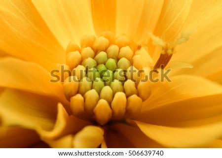 pollen cosmos flowers beautiful #506639740