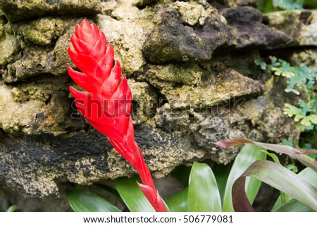 closed up of red Bromeliad flower.Red bromeliad with stone background in the garden #506779081