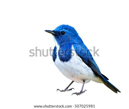 Ultramarine Flycatcher (superciliaris ficedula) beautiful blue bird with white belly isolated on white background, fascinated creature #507025981