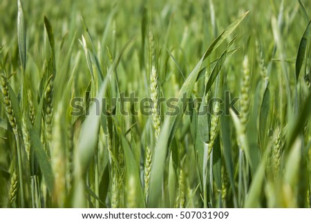 Green Wheat field in Ukraine #507031909