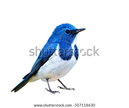 Ultramarine Flycatcher (superciliaris ficedula) a chubby beautiful blue and white bird perching on the rock over far green background in the nature, fascinated creature #507118630