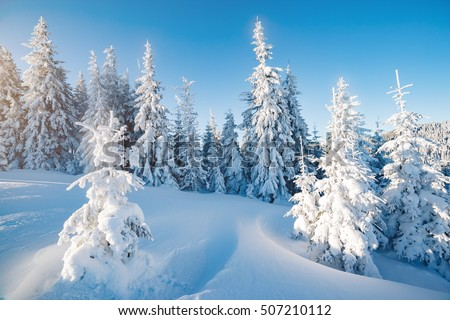 Majestic winter trees glowing by sunlight. Picturesque and gorgeous wintry scene. Location place Carpathian national park, Ukraine, Europe. Alps ski resort. Beauty world. Blue toning. Happy New Year!