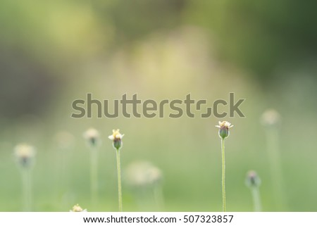 Coldenia procumbens L. flower. Focus on one flower at the right. Blur nature background. Little warm tone. Tridax procumbens flower. Coatbuttons flower.