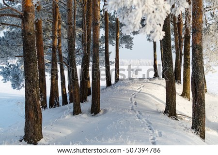 Winter landscape. Nature. Winter pine forest. #507394786