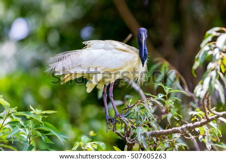 The black-headed ibis or Oriental white ibis is species of wading bird of the ibis family which breeds in the Indian Subcontinent and Southeast Asia from northern India, Bangladesh, Nepal, Sri Lanka. #507605263