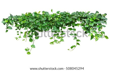Heart shaped leaves vine, devil's ivy, golden pothos, isolated on white background, clipping path included #508045294