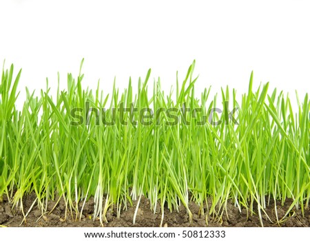 Green grass isolated on white background #50812333